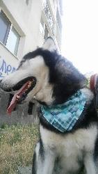 Шалче за голяма порода куче
